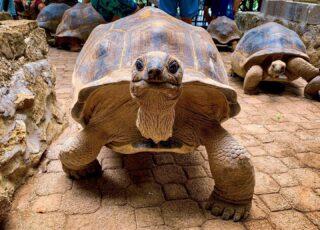 🐢 Questi simpatici animali vivono alle Seychelles, si possono trovare in libertà su Moyenne Island 🏝, Secondo voi quanto può  pesare una tartaruga gigante? 🤔 - Se volete saperne di più date un'occhiata all'articolo sul Reef Safari Tour nel mio blog -> link in BIO . . . #seychelles #giantturtle #moyenneisland #seychelles🇸🇨 #shotoniphone #instaviaggio #traveler #travelblogger #beachescape #animallovers #lovefortravel